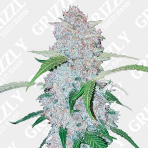 Six Shooter Auto Feminized Seeds