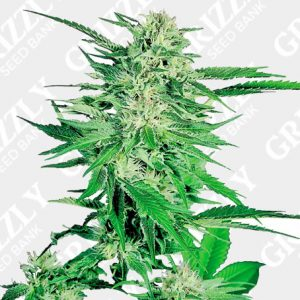Feminized Seeds UK | Grizzly Seed Bank | Next Day Delivery