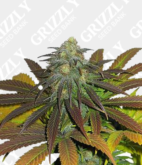Californian Orange Feminized Seeds