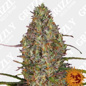 Glue Gelato Auto Feminized Seeds