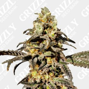 Orange Jelly Sunset Feminized Seeds
