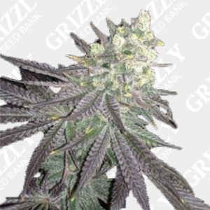 Baklava Feminized Seeds