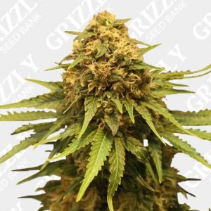 Critical Feminized Seeds