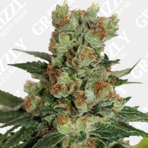 Fuel OG Feminized Seeds