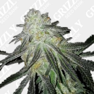 Lots of Zkittlez Feminized Seeds