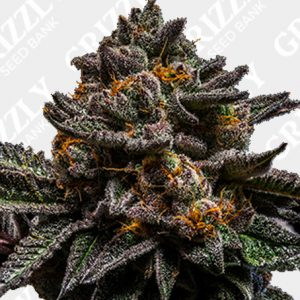 Brain Cake Feminized Seeds