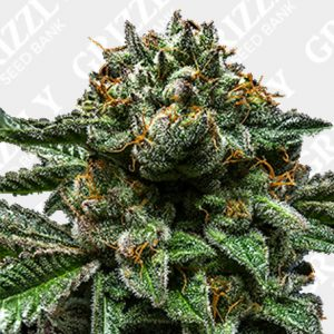 Chempie Feminized Seeds