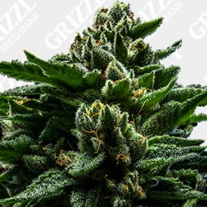 DO-G Feminized Seeds