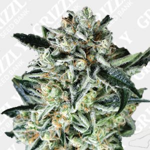 Jelly Bananen Feminized Seeds