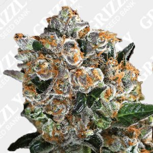 Malasana Cookies Feminized Seeds