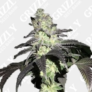 Do Z Dos Feminized Seeds