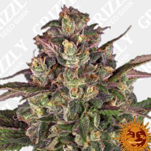 Peyote Critical Feminized Seeds