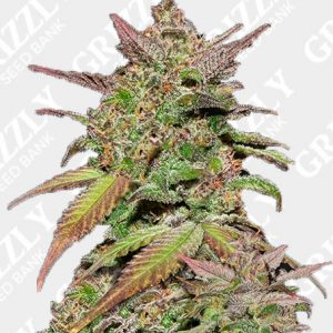Smoothie Auto Femininized Seeds