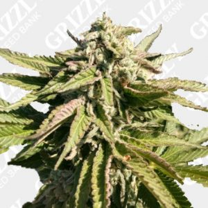 The Azucar Regular Seeds