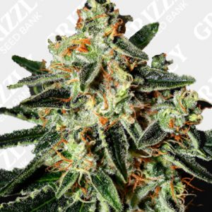 GH Cheese Feminized Seeds