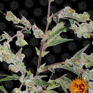 Dr Grinspoon Femininzed Seeds