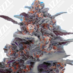 Devil Cream Auto Feminized Seeds