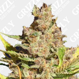 Alien Gorilla Feminized Seeds
