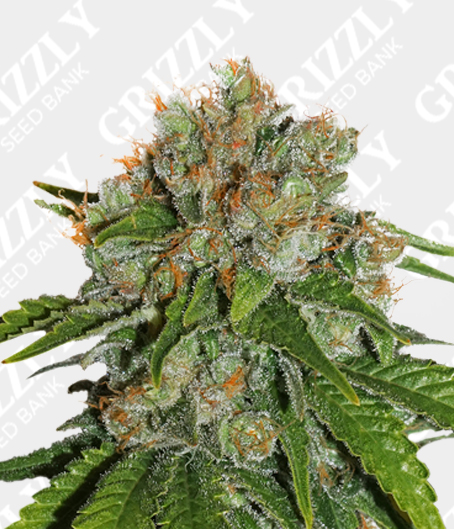 Amnesia Auto Seeds By Seed Stockers