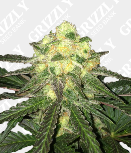 Auto Critical Cheese Seeds