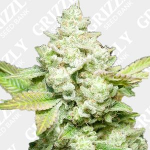 Original Glue GG4 S1 Feminized Seeds