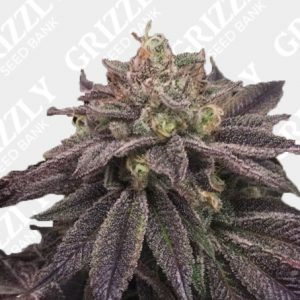 StarCake Feminized Seeds