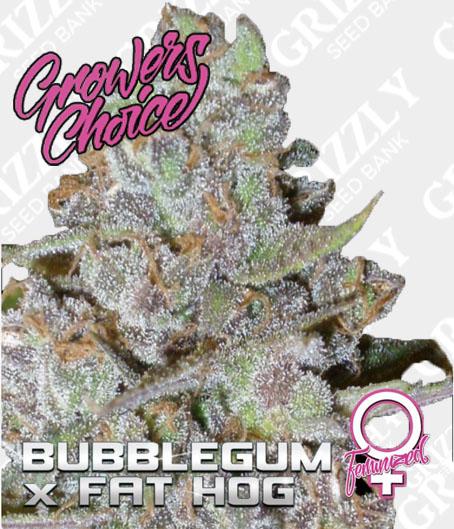 Bubblegum x Fat Hog Feminized
