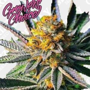 Frosty Gelato Feminized Seeds