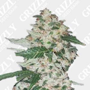LA confidential Feminized