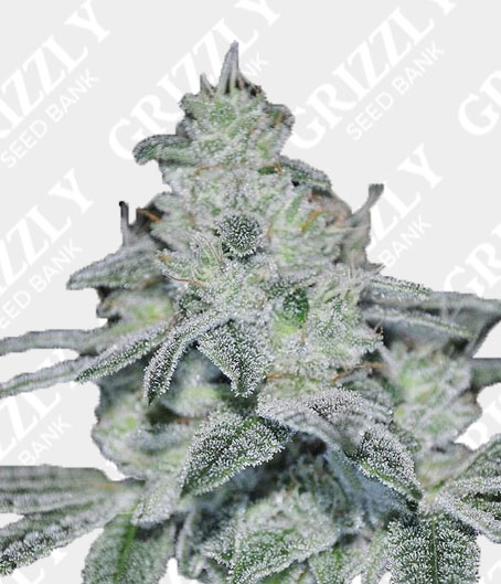 Slurracane feminized seeds