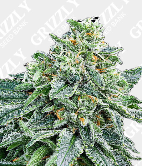 strawberry tree feminized seeds