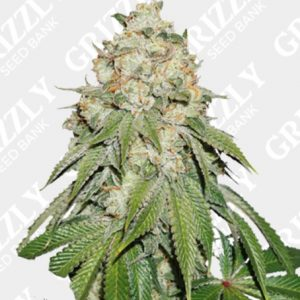 Banana Blaze Feminized Seeds
