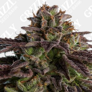 Kmintz Feminized Seeds