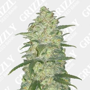 Original Auto White Widow Seeds