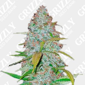 Californian Snow Auto Seeds