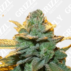 Cindy 99 Feminized Seeds