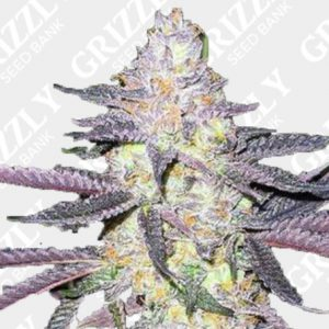 Dolato Feminized Seeds