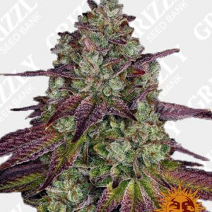 MIMOSA EVO™ Feminized Seeds