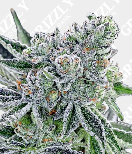 Sour Betty Feminized Seeds