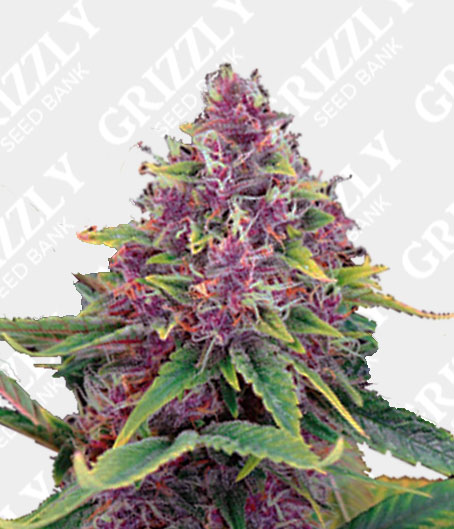 Auto Purple Kush Seeds