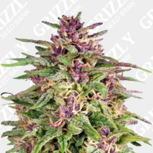 Frisian Dew® Feminized Seeds
