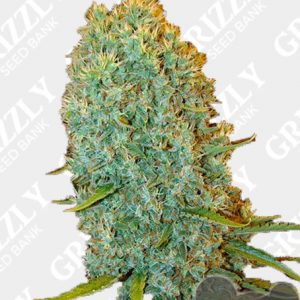 Big Bazooka Feminized Seeds