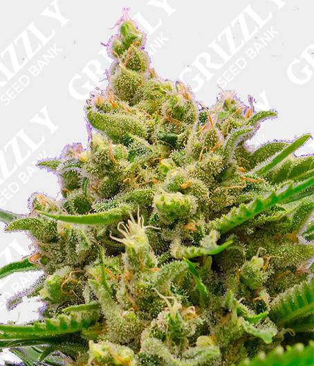 Big Bazooka Auto Seeds