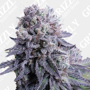 Black Valium Feminized Seeds