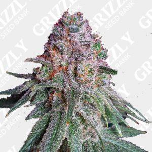Purple Dawg MASS Feminized Seeds