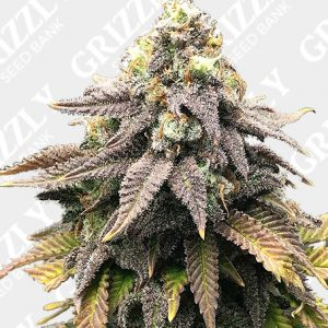 Cali Mango Mass Feminized Seeds