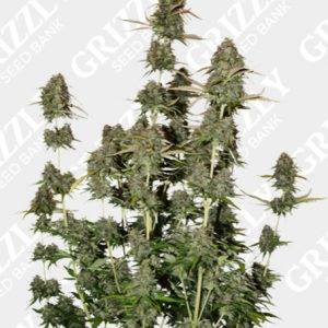 BCN Power Plant Autoflower Seeds