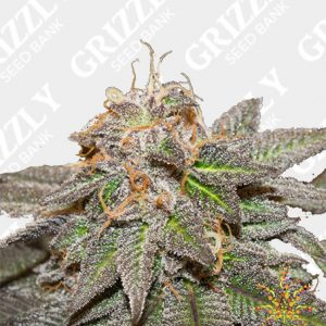 Sherblato Feminized Seeds