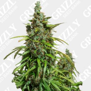 Auto Mazar® Seeds