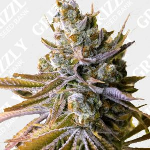 Tangie Ghost Train Feminized Seeds